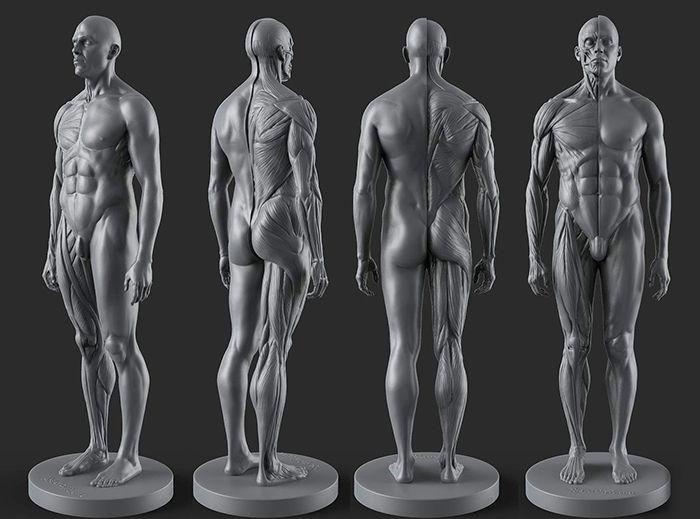 Male Anatomy Figure Anatomy References For Artists Anatomy Man
