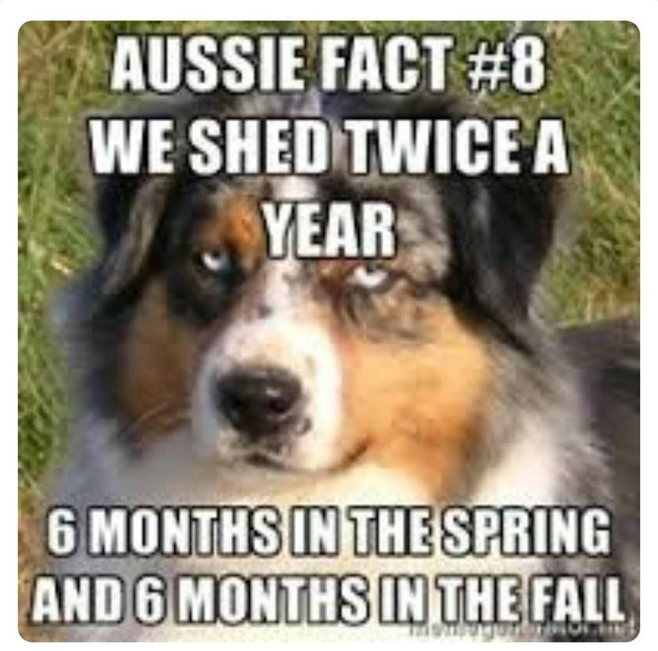 Pin By Luna Mew On Adorable Puppy Australian Shepherd