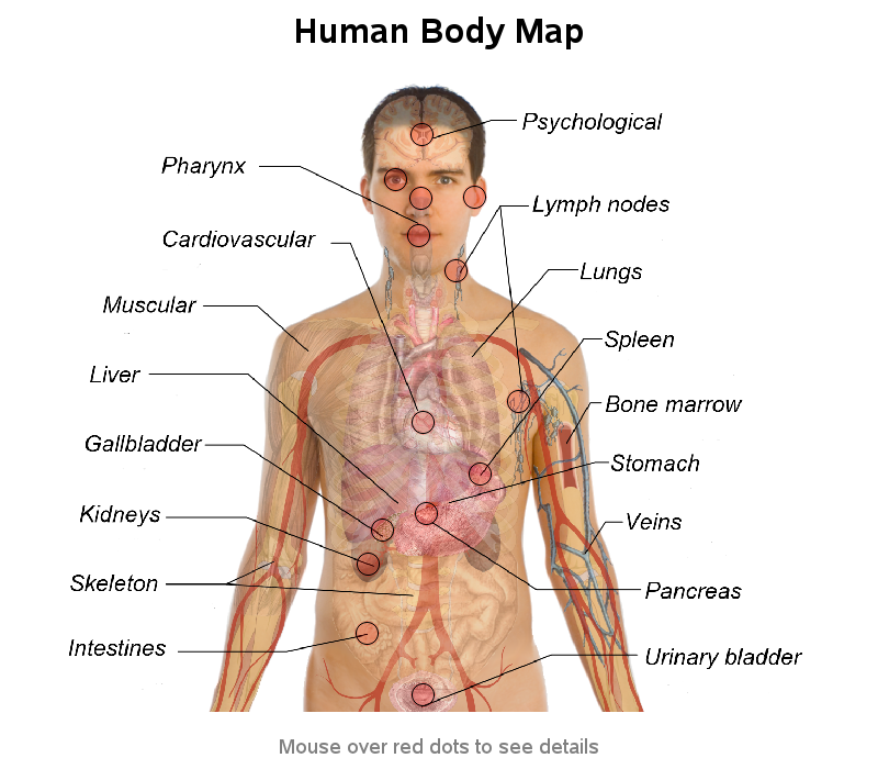 Anatomy of internal organs in human