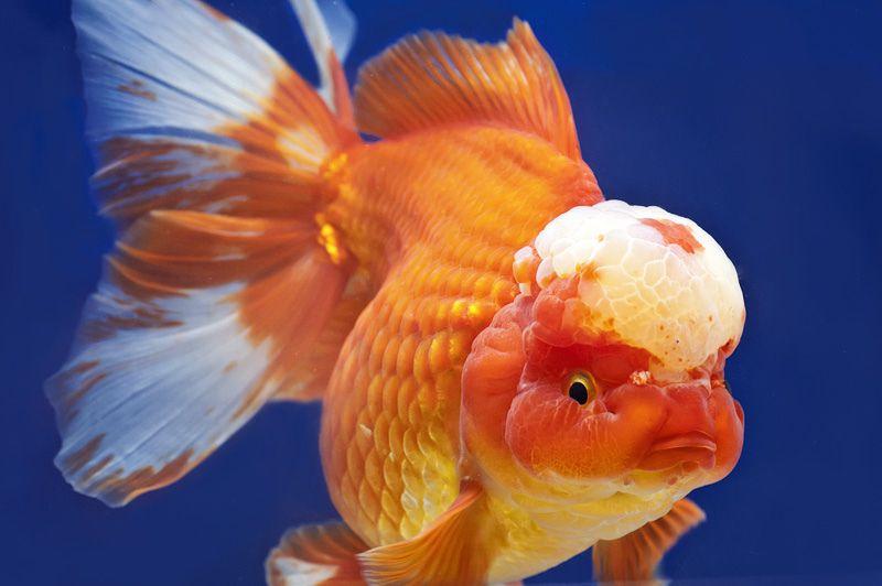 Oranda Lion Head Goldfish Goldfish Lionhead Goldfish Oranda Goldfish