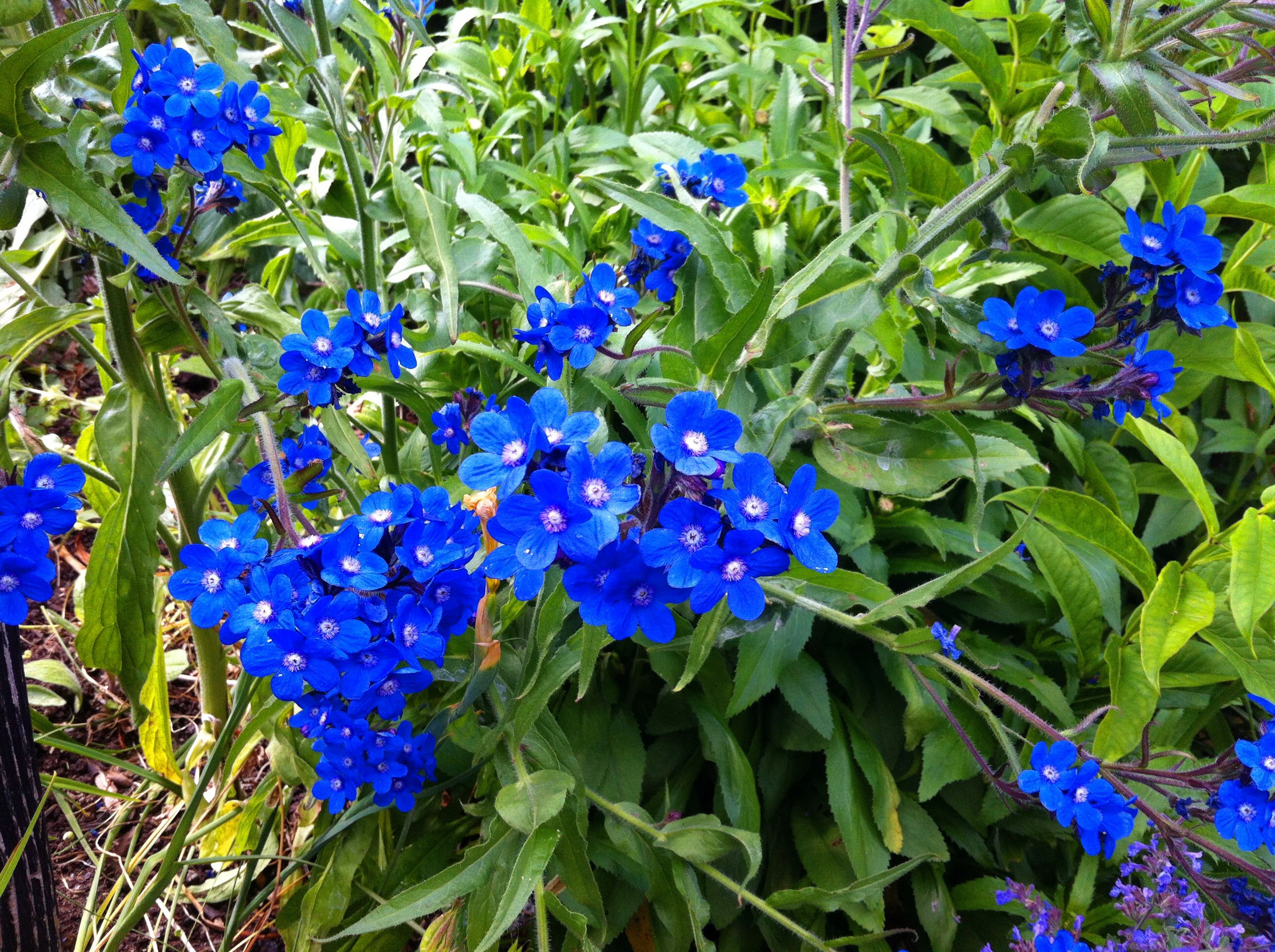 Perennial plants with blue flowers credainatcon anchusa azurea plants perennials and herbaceous lithodora evergreen perennial with electric blue flowers izmirmasajfo