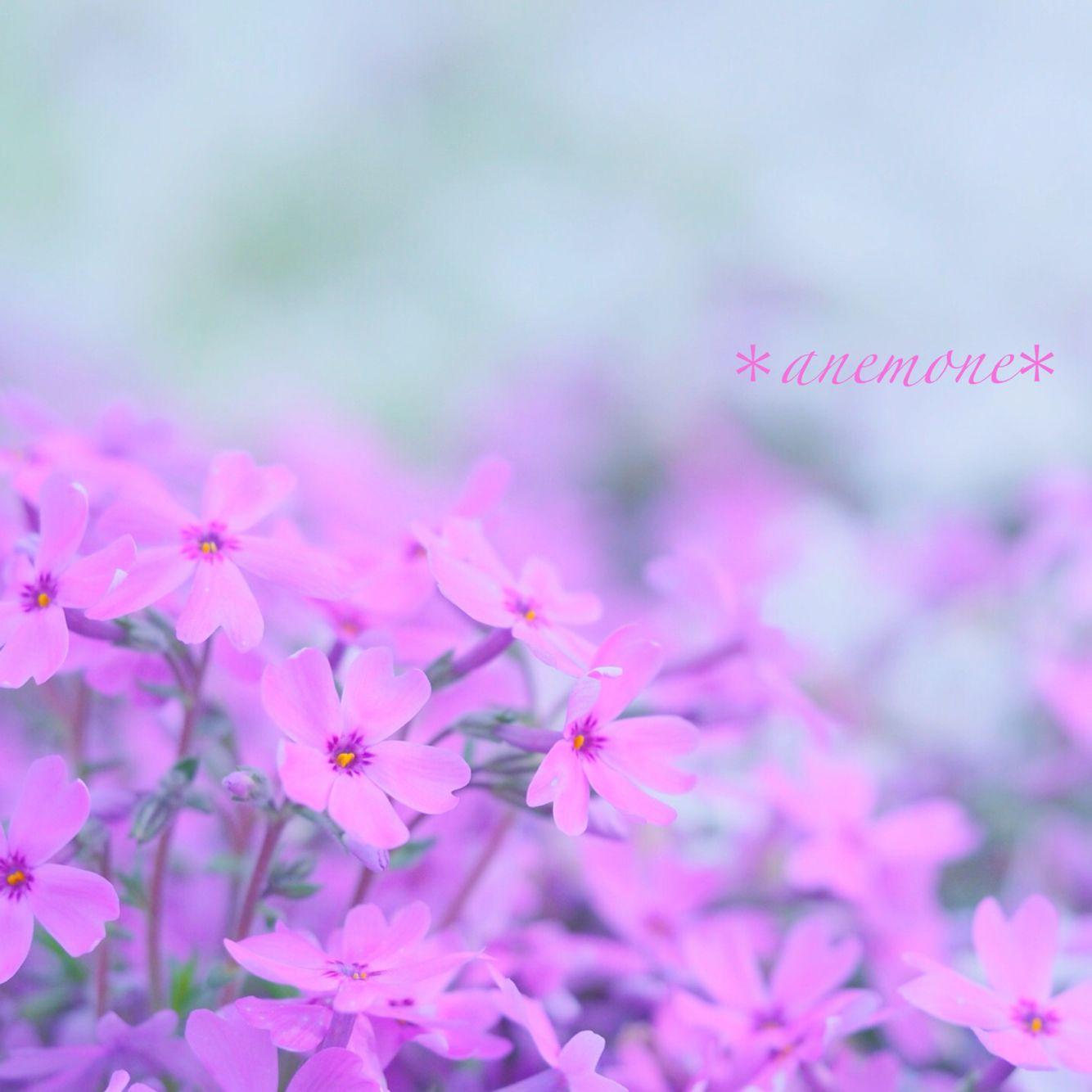#芝桜#MossPhlox#flower