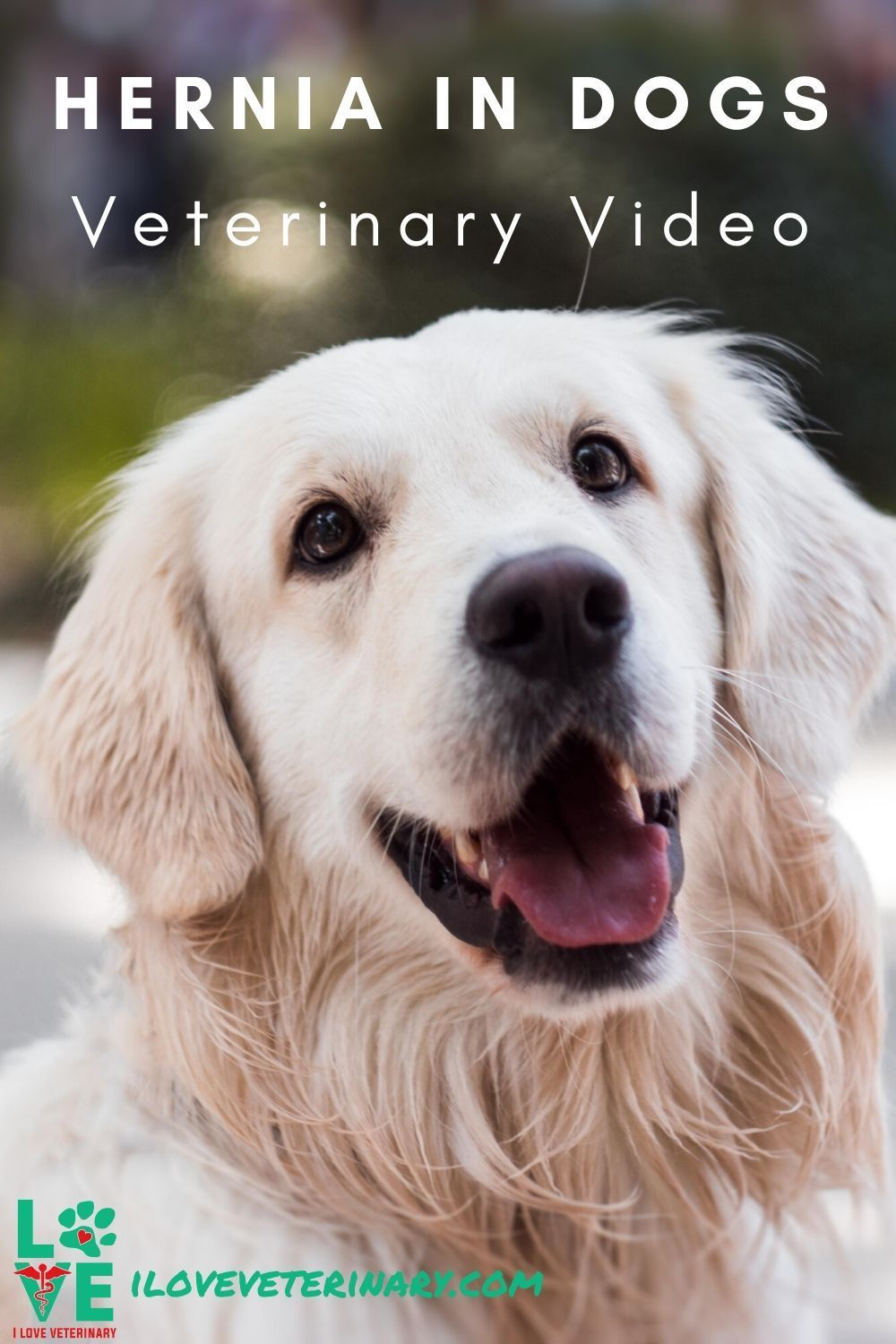Veterinary Video Hernia In Dogs In 2020 Dogs Golden Retriever Animals