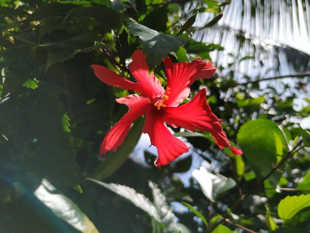 Shoeblackplant,Hibiscus rosasinensis Hibiscus rosa