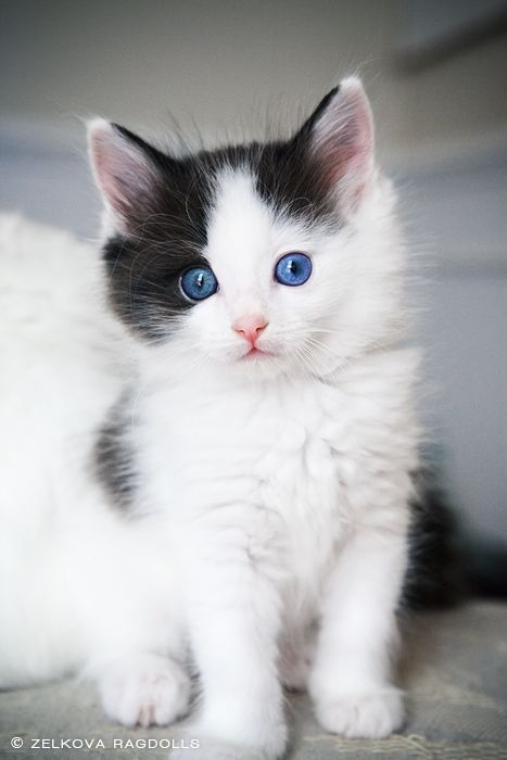 Beautiful And Fluffy Ragdoll Kitty Cats Kittens Cats