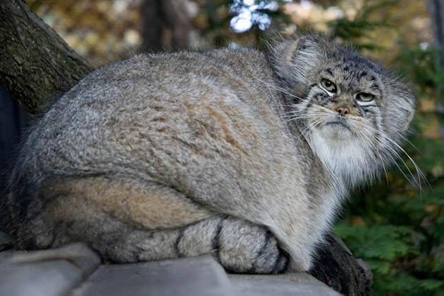 Krakowski Ogrod Zoologiczny Pallas S Cat Wild Cats Wild Cat