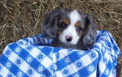 Pin By Kathy Atchley On Dog Pics Cavalier King Charles Spaniel