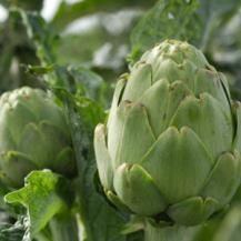 How to Grow Artichokes   Reader's Digest South Africa