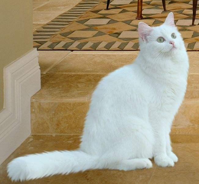 White Ragdoll Cat Cute Cats Pictures White Ragdoll Cat Ragdoll Cat Ragdoll Cat Colors