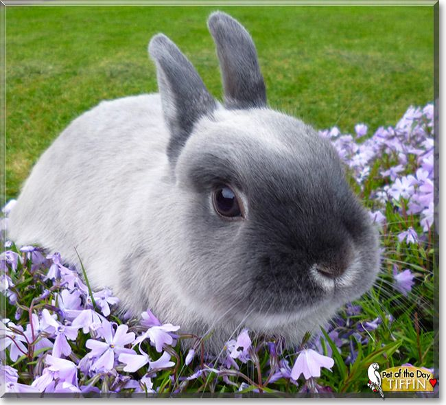 Tiffin the Netherland Dwarf Bunny, Pet of the Day