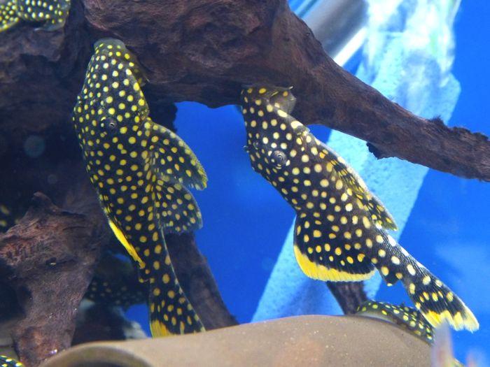 Diskusfische fotos zierfische zubeh r pinterest for Aquarium zierfische