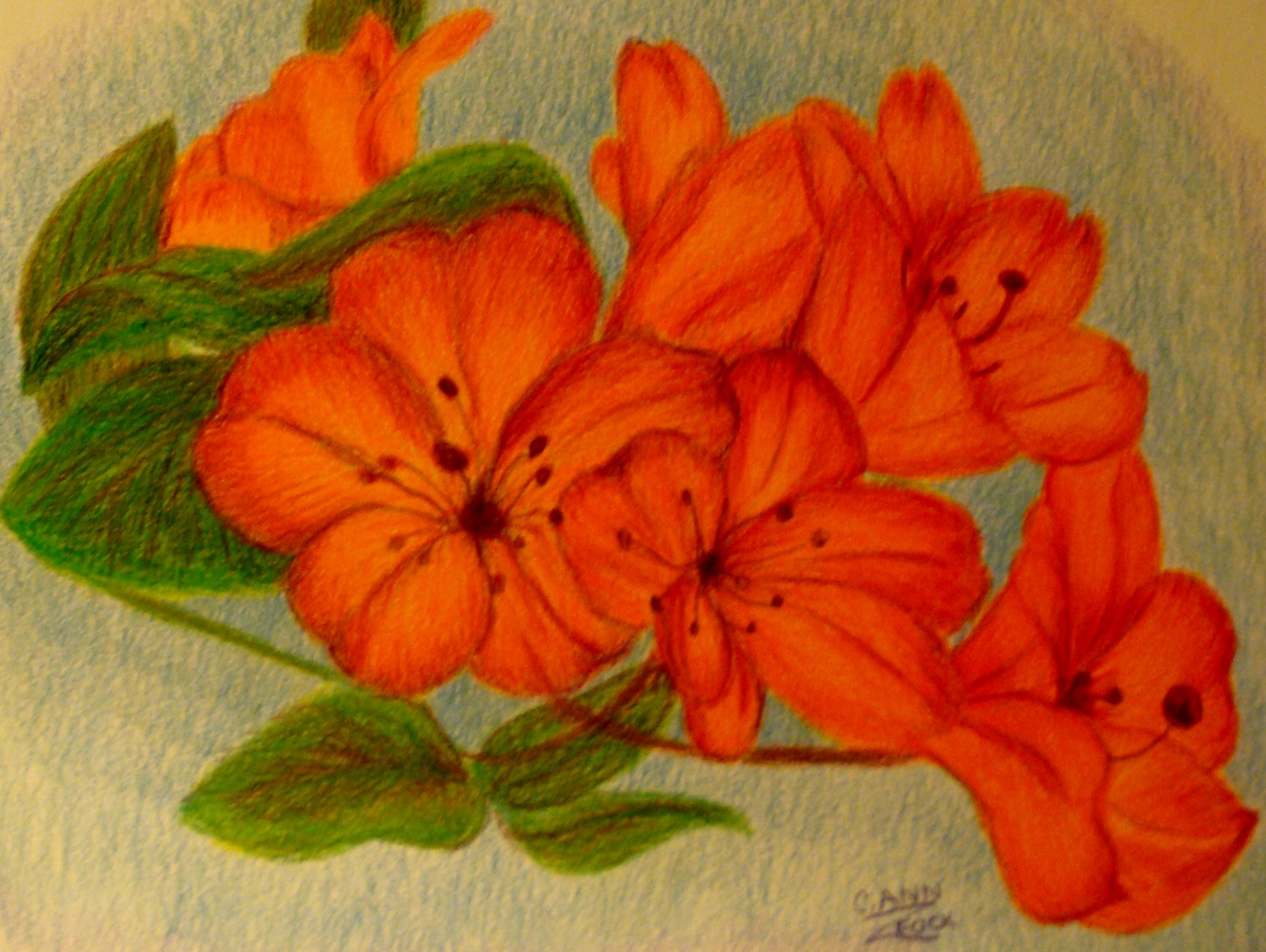 colored pencil drawing by carol zeock..orange flowers | my colored ...