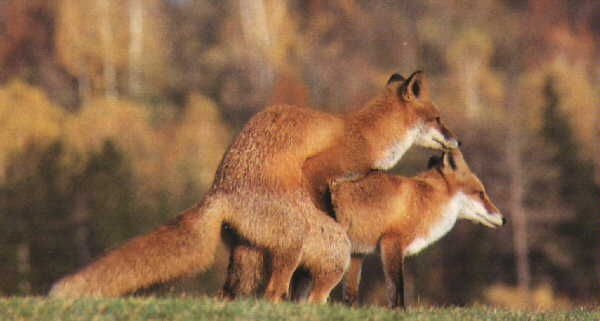 Foxes sex mating