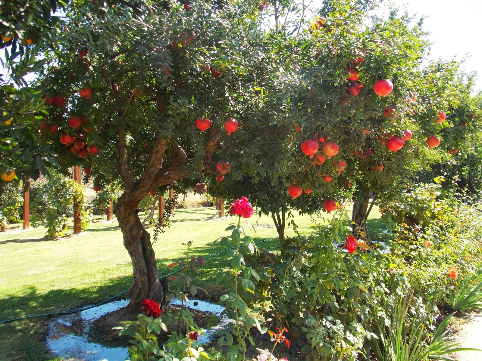Growing Pomegranate Trees Wonderful Pomegranate Tree A Pomegranate