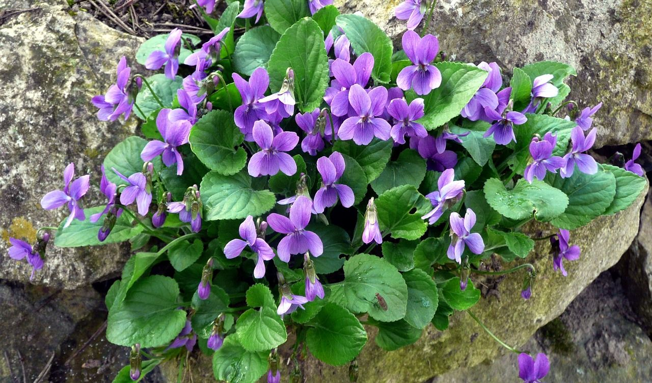 Violetti, Kevät, Harbinger Kevään, Puutarha