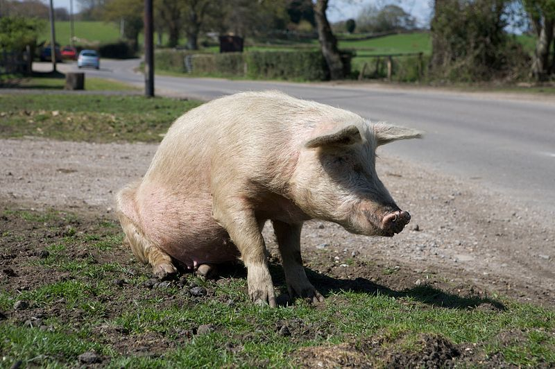 File:Sitting pig - New Forest Hampshire.jpg