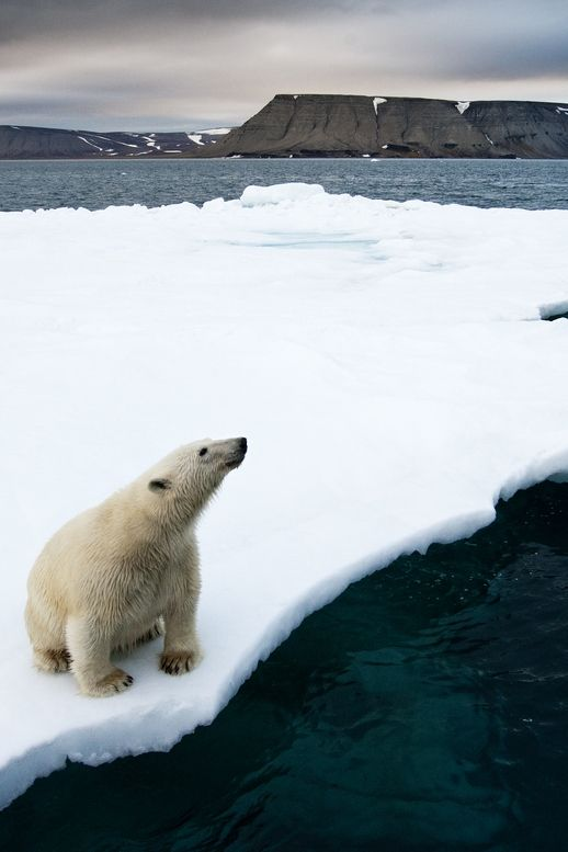 "tect0nic: "" Polar Bear on Melting Ice by Paul Souders via 500px. """