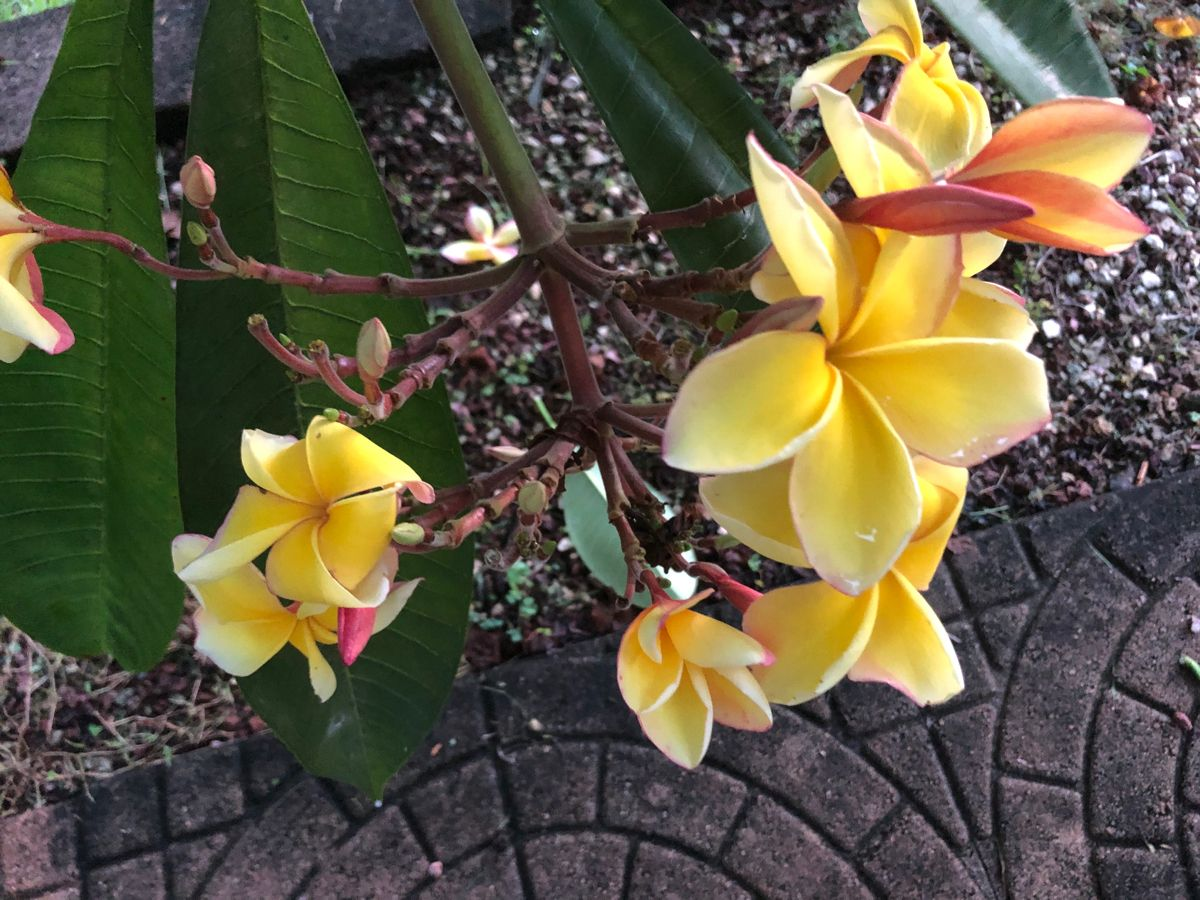 Yellow Plumeria Christian Fiction Authors Case For Christ Love The Earth