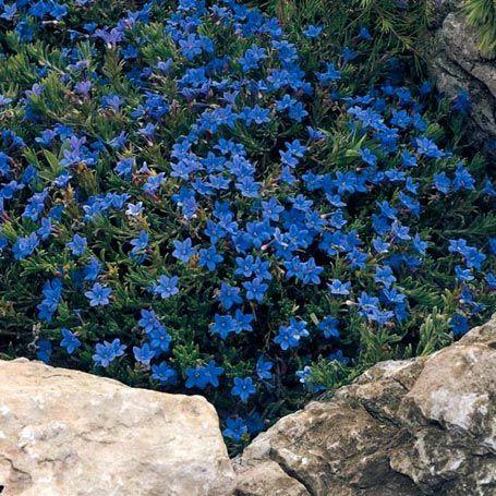 Steinsame - Immergrüne Pflanzen | Grab | Pinterest Bodendecker Schatten Pflanzen