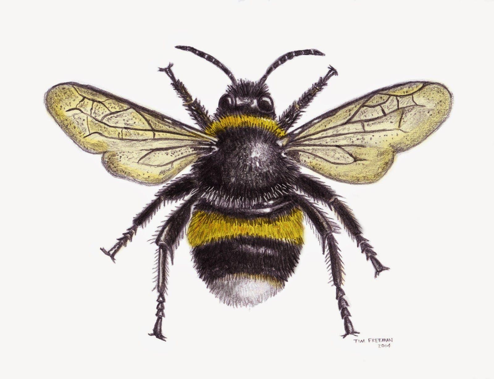 Tim Freeman Design & Illustration: Bumble Bee   graphics ...