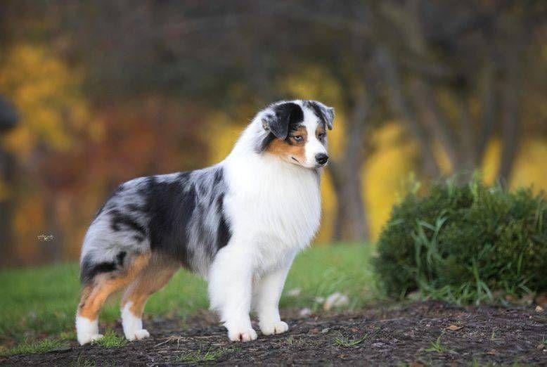 Faithwalk Aussies Available Puppies Australian Shepherd
