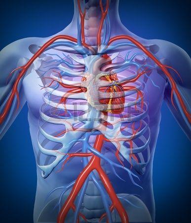 La circulation cardiaque humaine dans un syst me cardio vasculaire ...