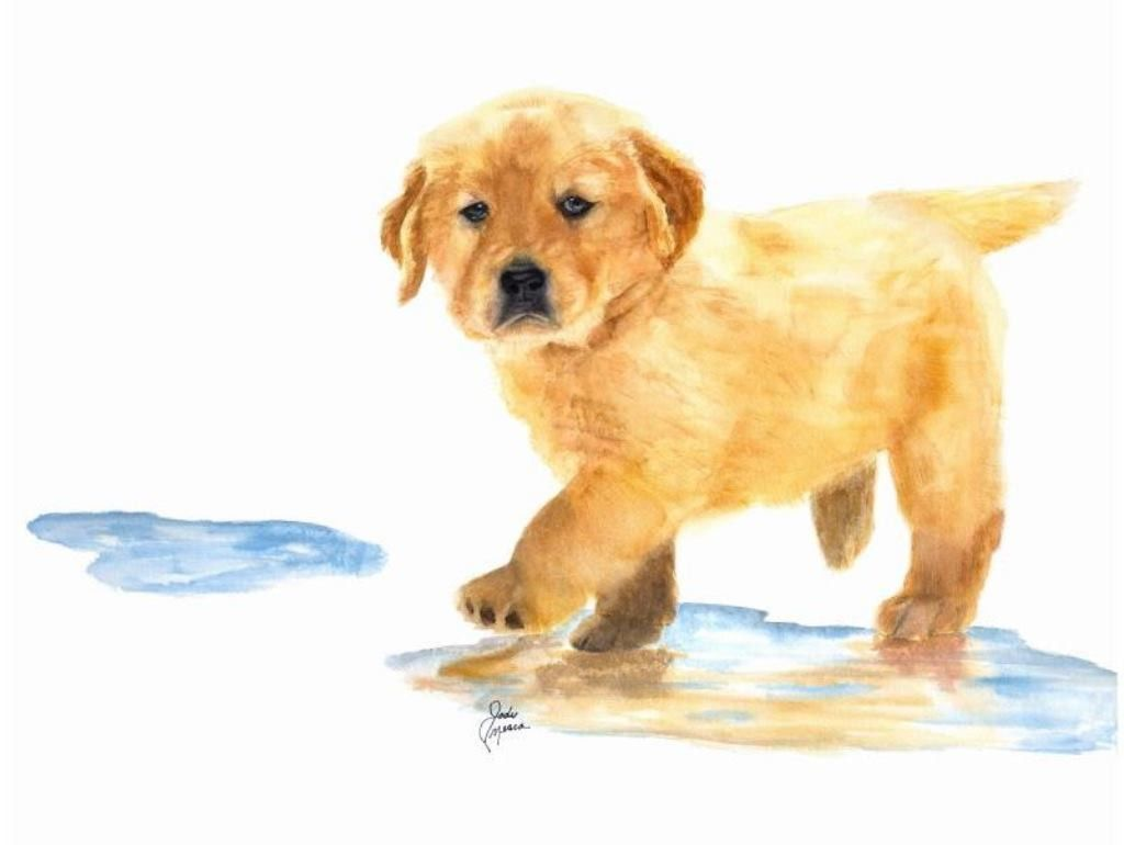 Puddles The Golden Retriever Stretched Canvas | Perros bonitos ...