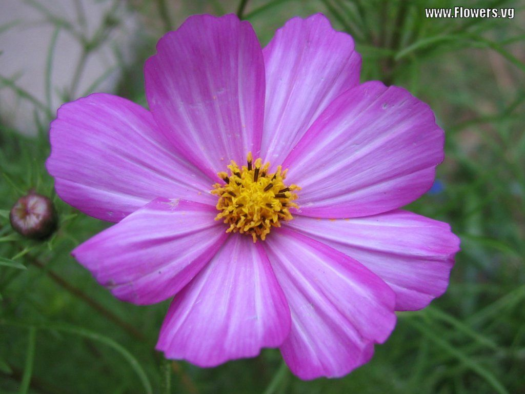 flowers for flower lovers Cosmos flowers wallpapers Flowers