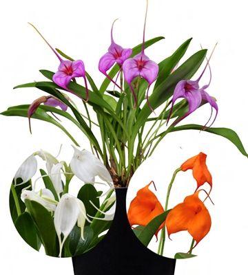 Orkidea-lajitelma