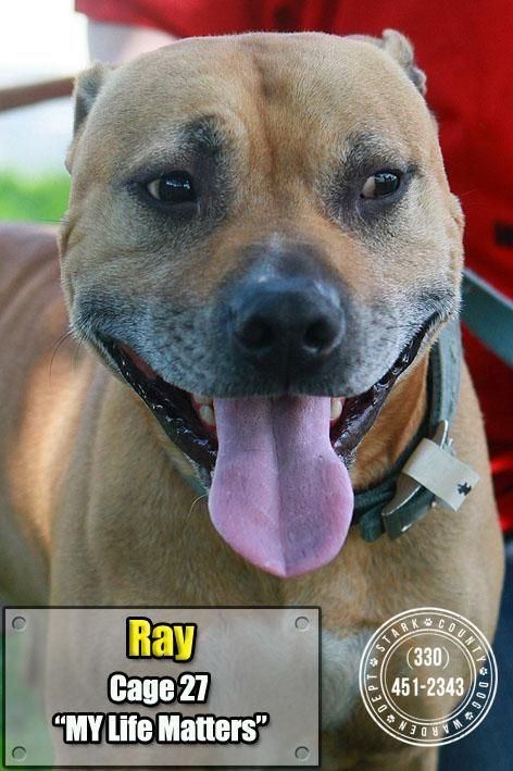 Adopt 27 Ray Adopted On Animal Rescue Pitbull Terrier Pet Life