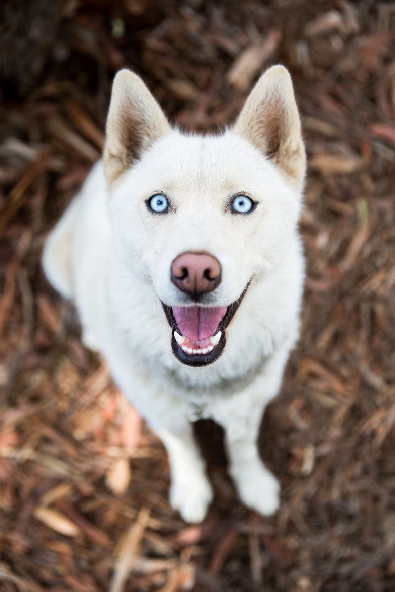 Checkout The Beautiful Clear Blue Eyes On This Big White Dog
