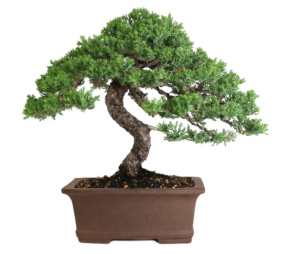 Easternleaf Com Rock Juniper Bonsai Tree Only 35 Bonsai Plants For Sale Bonsai Tree Types Bonsai Tree