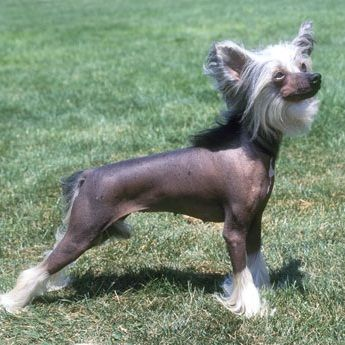Chinese Crested Hairless As Opposed To Powderpuff This Would Be Considered A Show