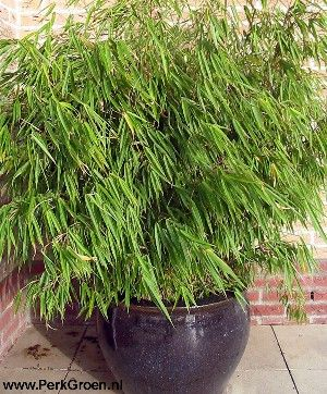 Bamboo in Pot -- I do not like Bamboo running rampart but like this ...