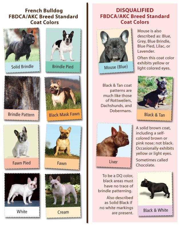 French Bull Dog Club of America French Bulldog Fad