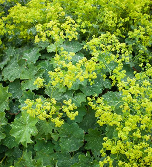 alchemilla mollis foliage plants vase and for the. Black Bedroom Furniture Sets. Home Design Ideas