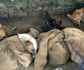 India S Brutal Dog Meat Trade Exposed As Humane Society International Launches Campaign To End Nagaland Nightmare Chien Defense Des Animaux Canin