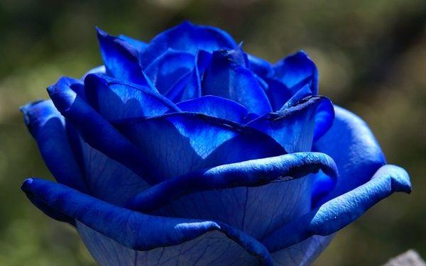 Rose - Tinted Blue - Standard Rose - Roses - Flowers by category | Sierra Flower Finder