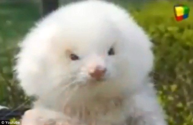 This Is A Dog Myth Roided Out Ferrets Sold As Poodles Happy
