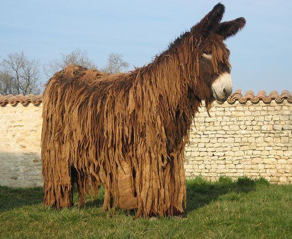The poitou donkey from the France, a big Rastafarian donkey, was