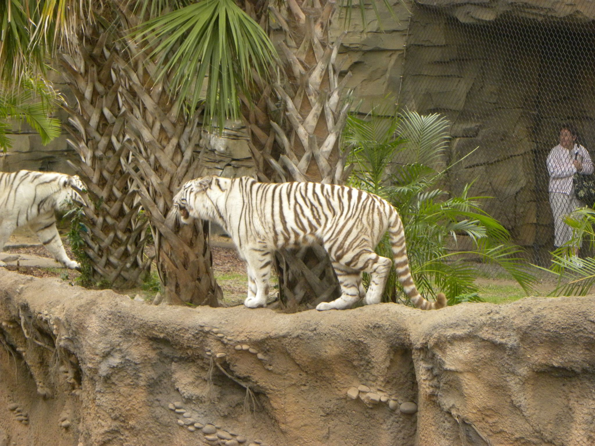 white tiger, bush garden | This Too is America | Pinterest | Bush ...