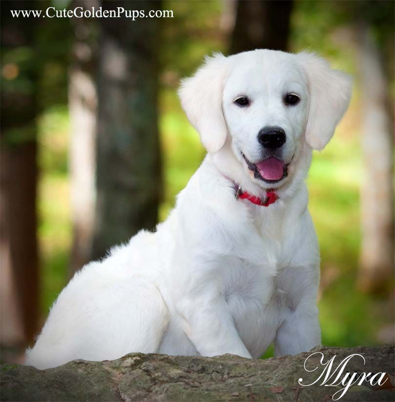 White Golden Retriever Puppies English Cream Nj Ma Pa Fl Ct Ri De
