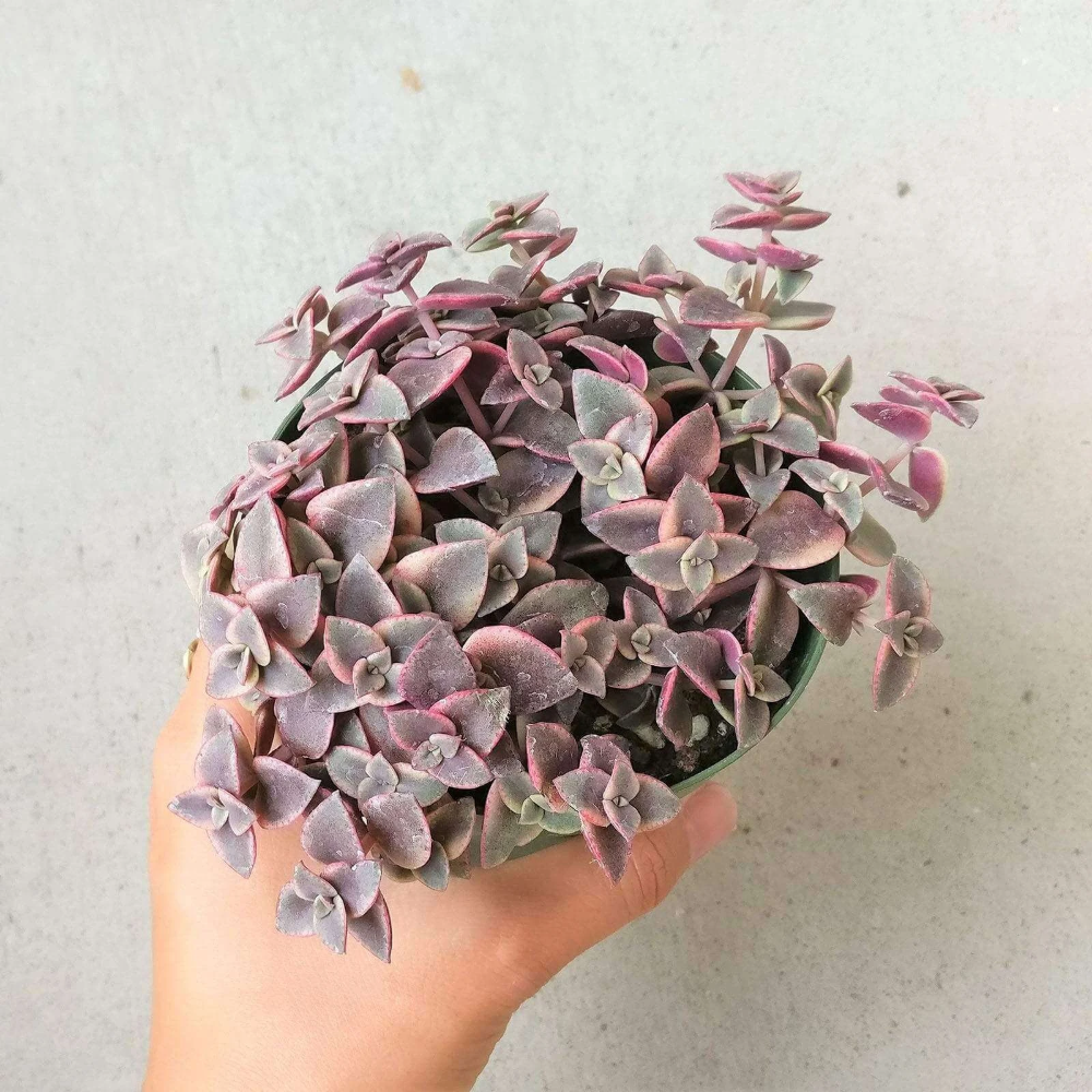 Calico Kitten Crassula In 2020 Calico Kitten Succulents Succulent Box