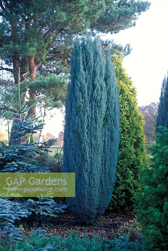 Image Result For Chamaecyparis Lawsoniana Blue Surprise