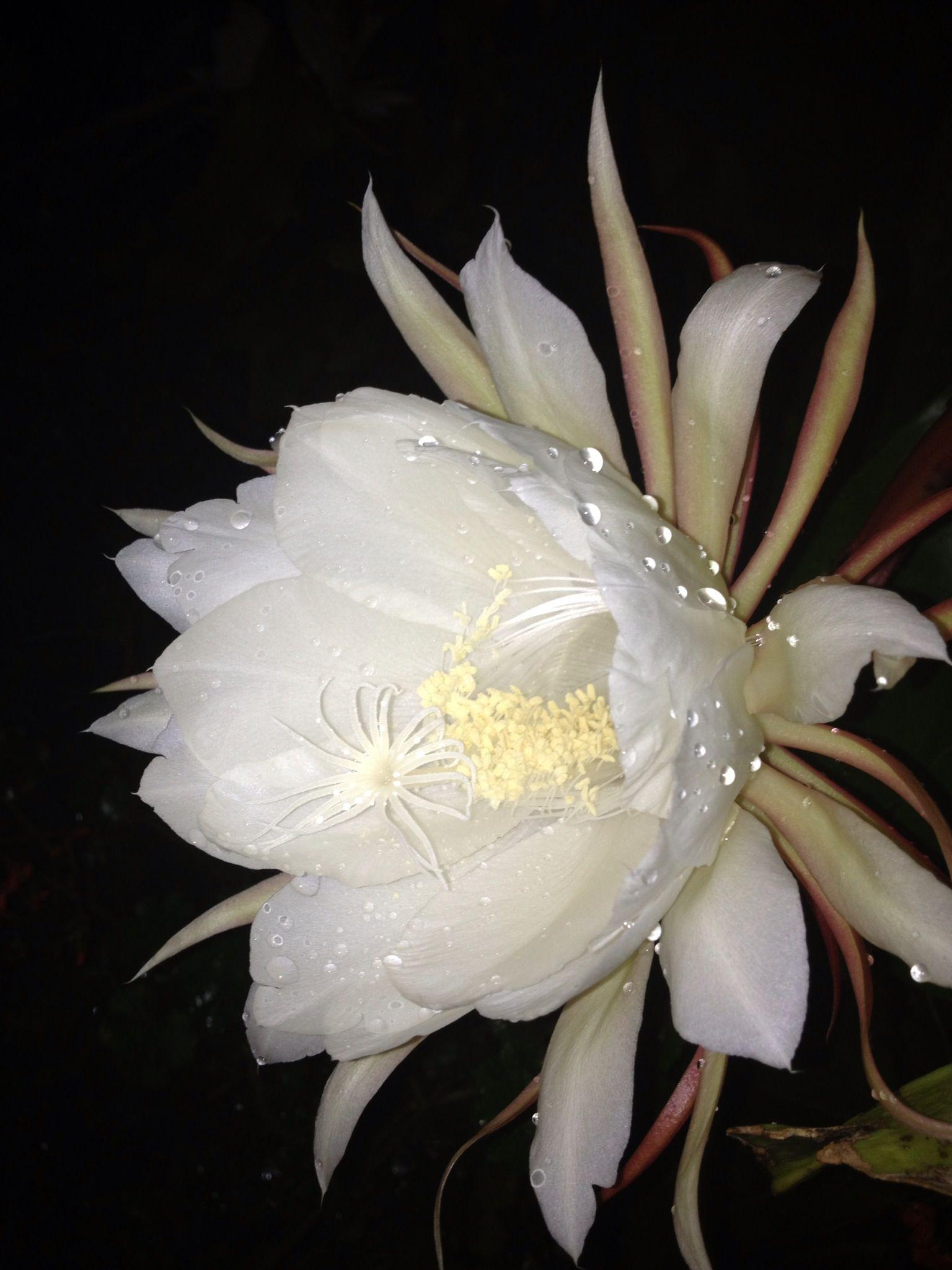 любые изделия лунный цветок фото в саду постоянно улучшает