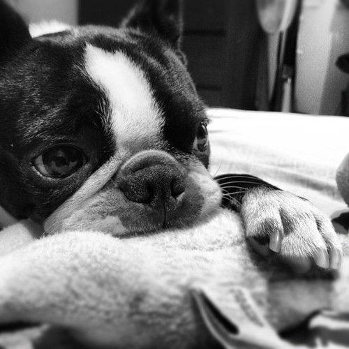 Coco, Boston Terrier