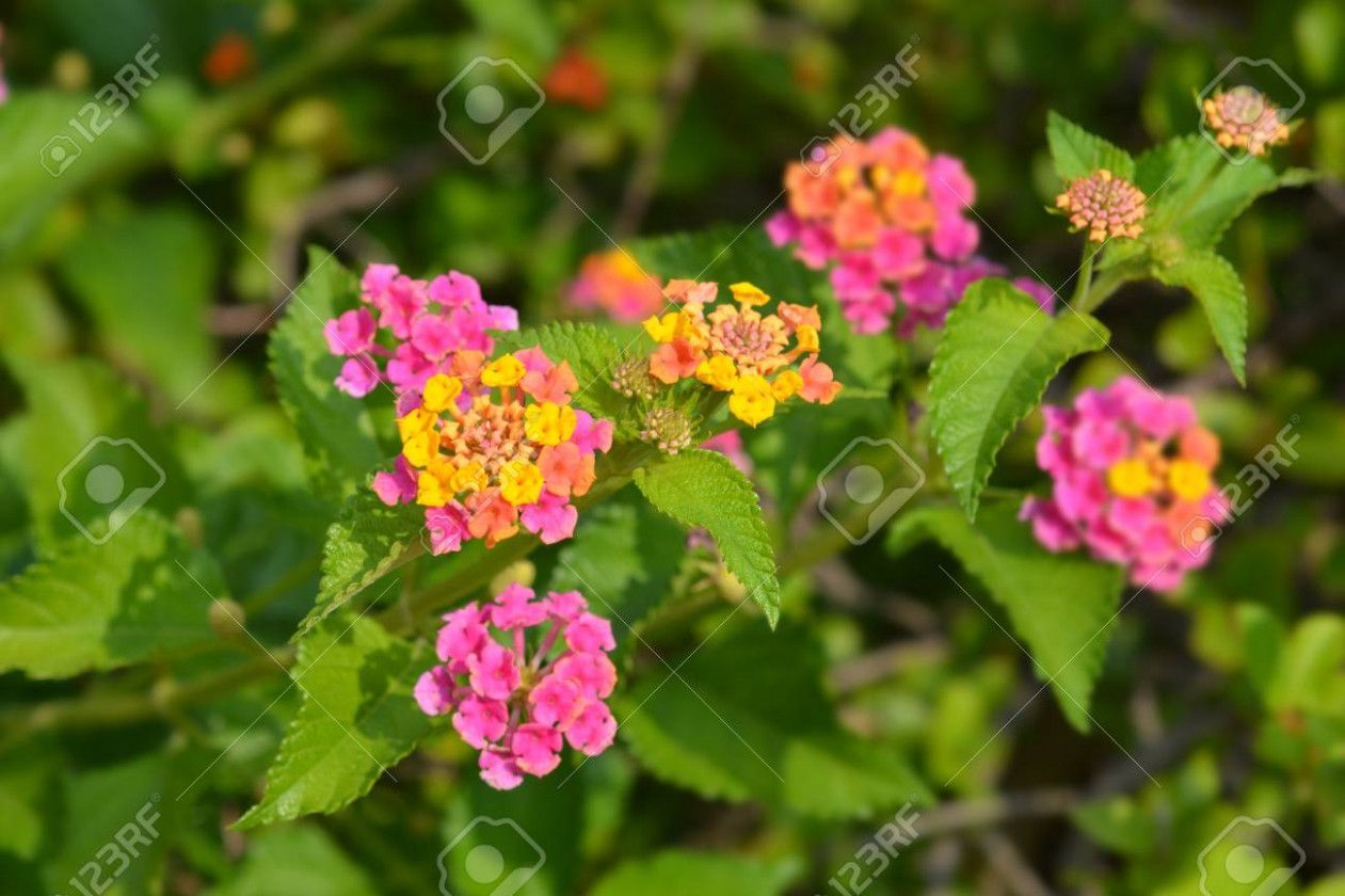 10 Small But Important Things To Observe In Lantana Plant Latin Name Lantana Plant Latin Name In 2020 Lantana Plant Flower Close Up Cilantro Plant