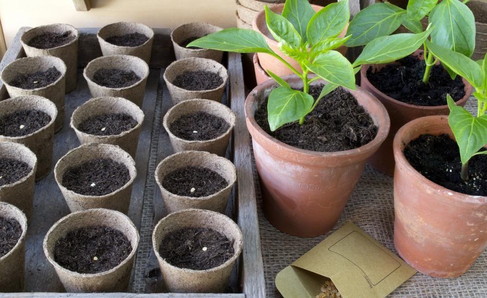 paprika und chili erfolgreich auss en in 2018 gem se pinterest pflanzen garten und. Black Bedroom Furniture Sets. Home Design Ideas
