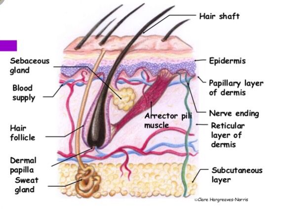 Science of the hair and scalp ; cross section diagram