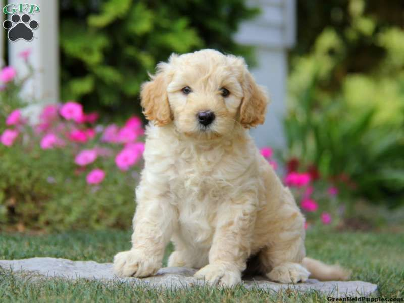 Miniature Poodle Mix Puppies For Sale In PA | Puppies